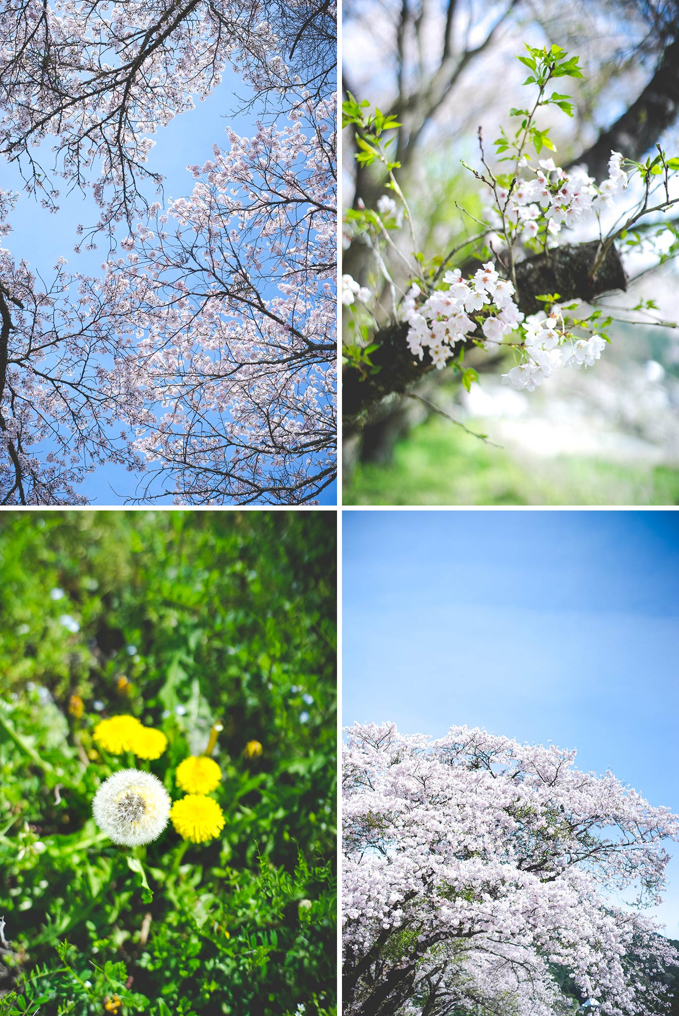 hanami_20160406-1-1