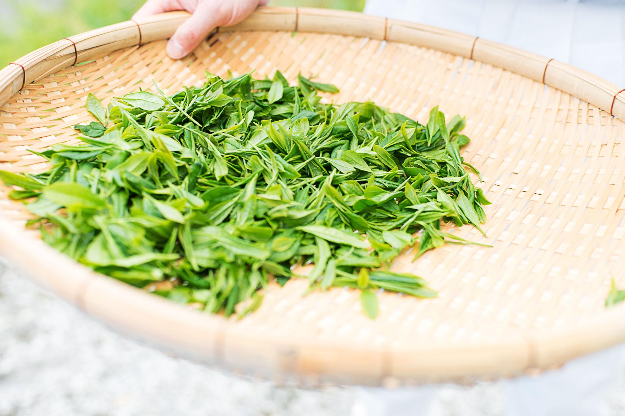 自分ちの茶畑からお茶摘みして自家製烏龍茶を作った話し。