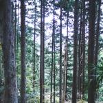 自分の山の杉で曲げわっぱが作れたらいいなあ。