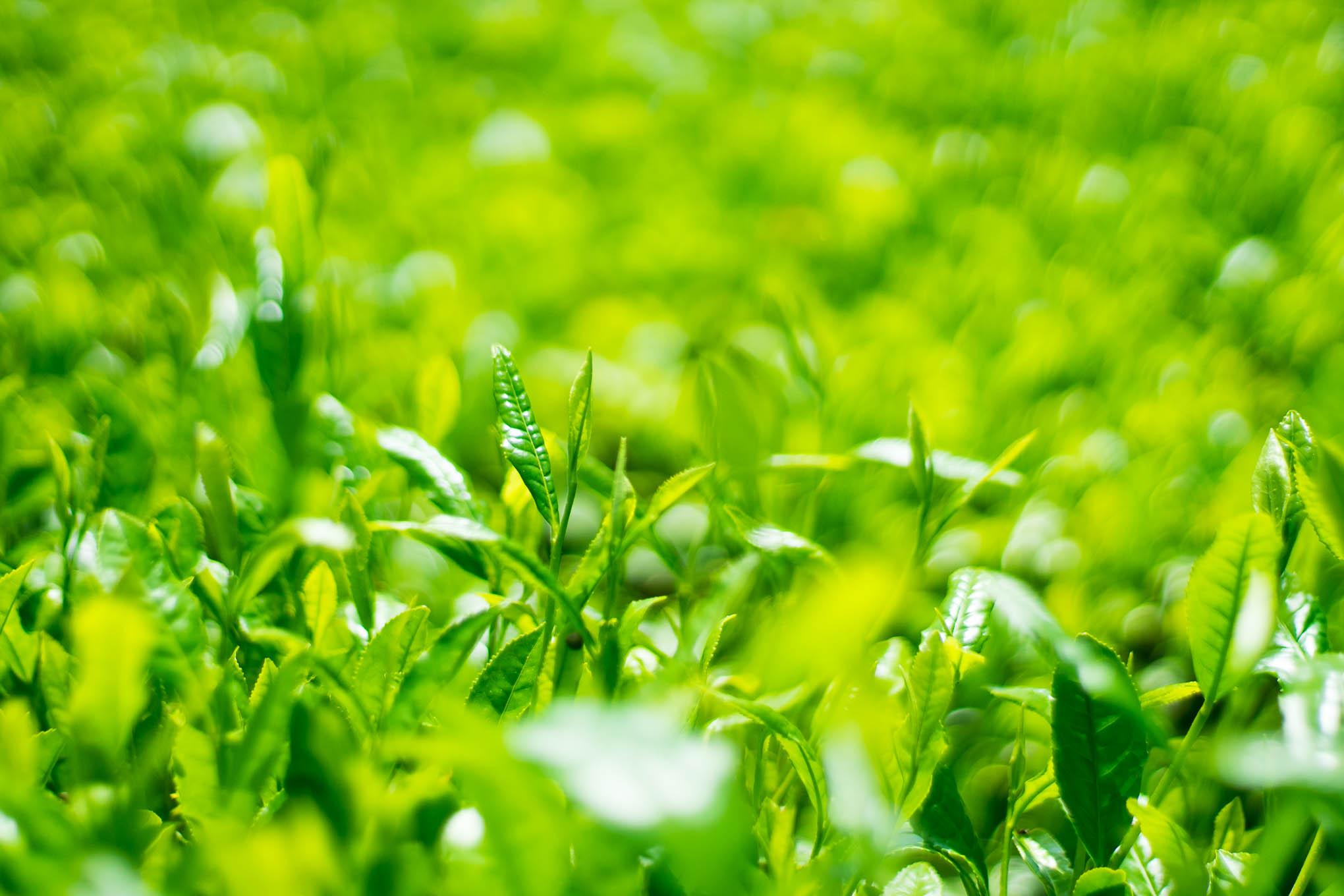 ヤッホー!暮らしの往復書簡vol.23お茶の新芽がキラキラと